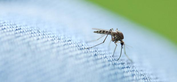 Ross River Virus starts with a mosquito bite