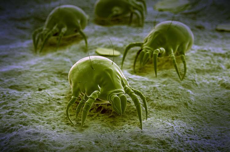 Asthma and dust mites