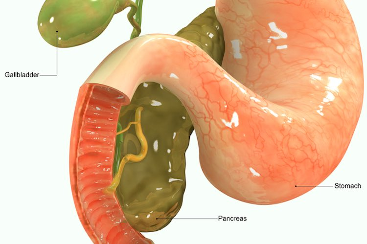 Pancreas and insulin