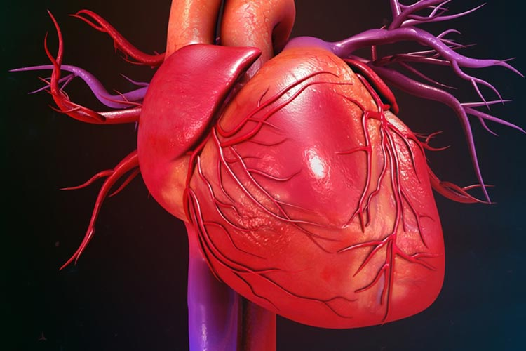 Heart: how your heart pumps blood around your body