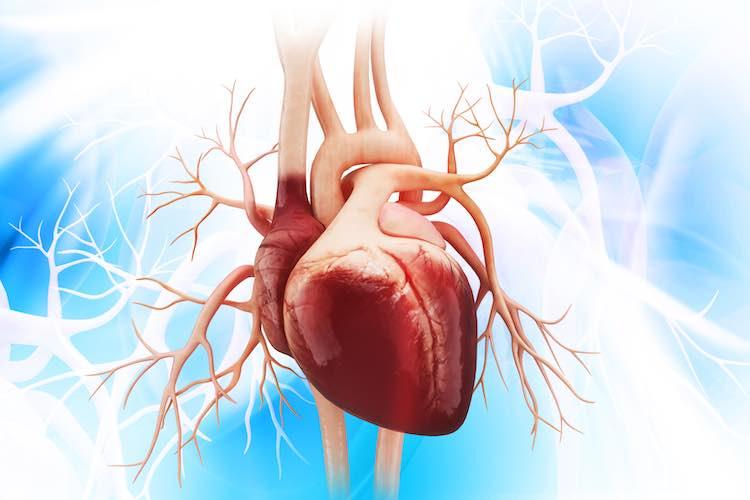Heart Anatomy Mydr