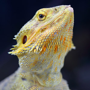 pet reptiles spawn new allergy risk