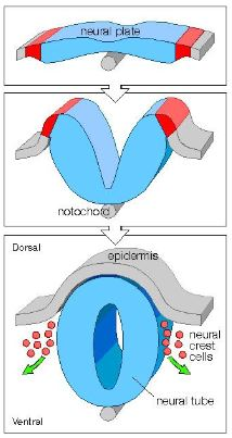spina bifida development